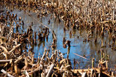 Blue sky reflection in a swamp water — Stock Photo