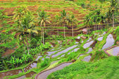 Balinese rice fields terrace — Stock Photo