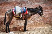 Male donkey on rock wall background — Stock Photo