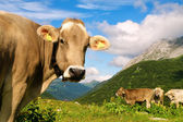 Cow in the meadow of Swiss Alps — Stock Photo