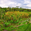 Stock Photo: Balinese green rice fields panorama