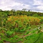 Balinese green rice fields panorama — Stock Photo