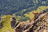 Chamois in Slovak mountains High Tatras — Stock Photo
