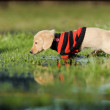 Puppy walks in puddle — Stock Photo