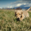 Dachshund puppy walks in the long grass - Stock Photo