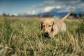 Dachshund puppy walks in the long grass — Stock Photo