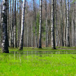 Springtime birch forest — Stock Photo