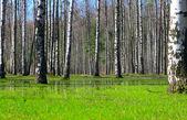 Foresta di betulle di primavera — Foto Stock
