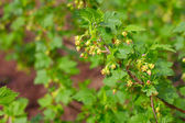 Blooming currant — Stock Photo
