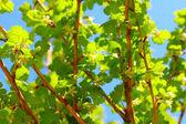 Gooseberry bush — Stock Photo