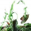 Stock Photo: Rucoland Chard salad lightness concept