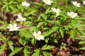 Windflowers close-up — Stock Photo