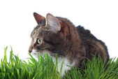 Adult cat in grass — Stock Photo