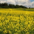 Canola field — Stock Photo #9435830