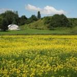 Canola field — Stock Photo