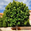 Stock Photo: Ficus tree.