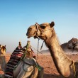 Camels — Stock Photo #9915530