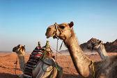 Kamele — Stockfoto