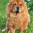 Royalty-Free Stock Photo: Sitting brown chow chow dog in the green grass