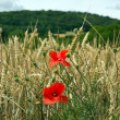 Stock Photo: Some poppies in wheat