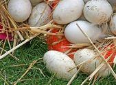 Kaz yumurtaları — Stok fotoğraf