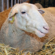 Sheep in its cubicle — Stock Photo #8488395