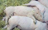 Pigs babes — Stock Photo