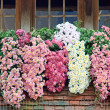 Bunch of chrysanthemums — Stock Photo
