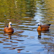 Foto de Stock  : Two Ruddy Shelduck