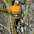 Stock Photo: Pruning trees