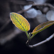 Back lit leaves — Stock Photo