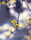 Forsythia flower — Stock Photo