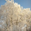 Birch trees in hoar frost — Stock Photo
