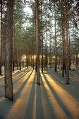 Back lit pine trees — Stock Photo