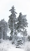 Pine trees in winter — Stock Photo
