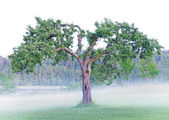 Old fruit tree in fog — Stock Photo