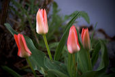 Four red tulips — Stock Photo