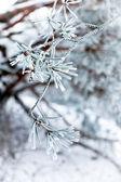 Frozen needles — Stock Photo