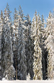 Pine trees in snow — Stock Photo