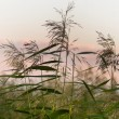 Reeds in sunset — Stock Photo #8244778