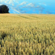 Royalty-Free Stock Photo: Wheatfield