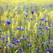 Stock Photo: Corn flowers