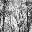 Stock Photo: Birch trees