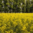 Rape field — Stock Photo #8246829