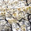 Stock Photo: Cherry tree blossoms