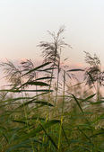 Reeds in sunset — Foto Stock