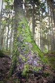 Pine tree — Stock Photo