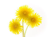 Three dandelions isolated on white — Stock Photo