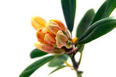 Yellow rhododendron — Stock Photo