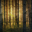 Pine tree forest in autumn — Stock Photo